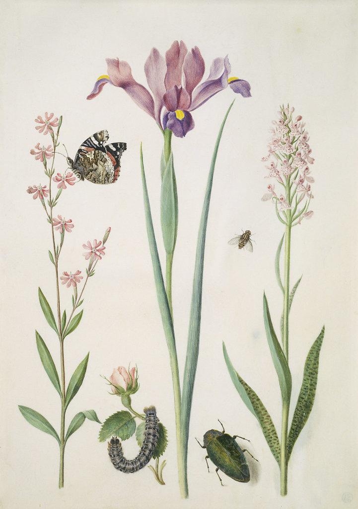 st-presse-merian-pechnelke-rose-iris-knabenkraut-nach-1691.jpg